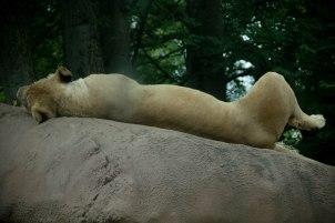 Rolling Lion