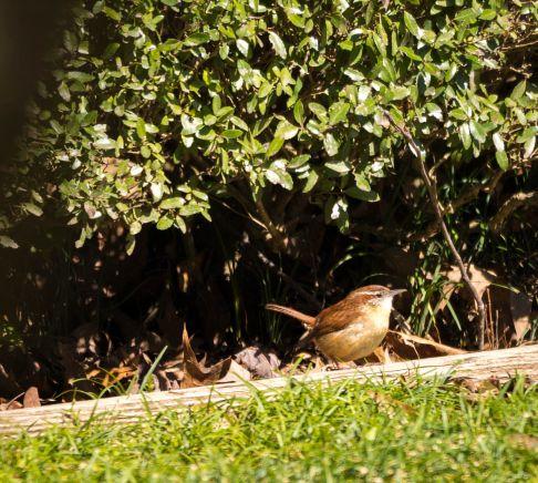 Back Yard Birds 2