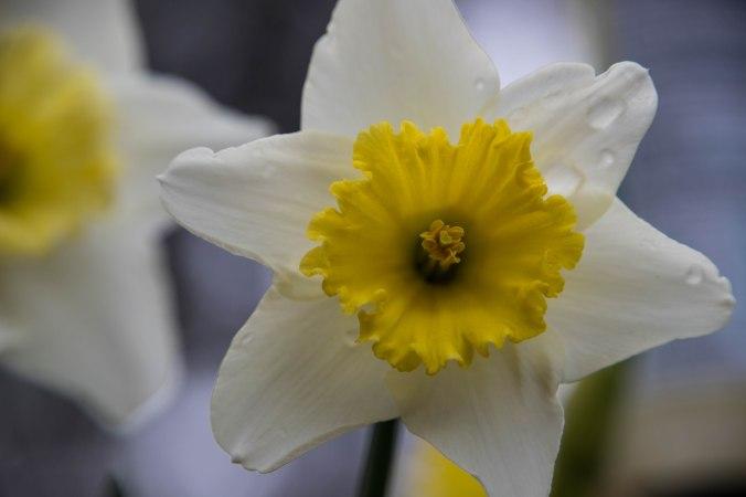 daffodil-2